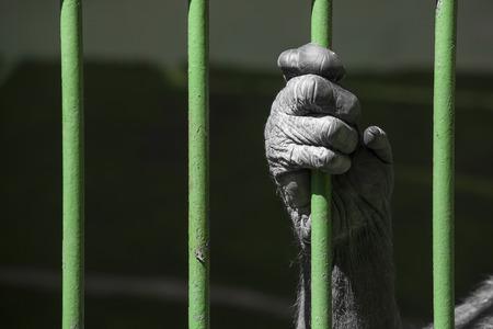 tierschutz: schwarze Hand eines Schimpansen Affen halten das gr�ne Raster aus seinem K�fig. Konzept f�r die Gefangenschaft von Wildtieren, Tierschutz und Tierqu�lerei