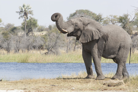 elephant bull at the bank of the river Boteli lifting his trunk Makgadikgadi National Park Botswana Africa