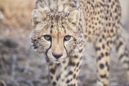 stalking: Portrait of a stalking cheetah close up