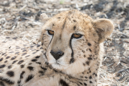 kalahari: Portrait of a cheetah resting in the Kalahari desert sand, Botswana, Africa