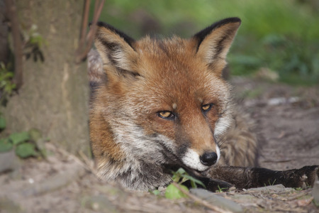Portrait of a fox lying beside a tree and looking sly and shifty, concept for slyness and shiftiness