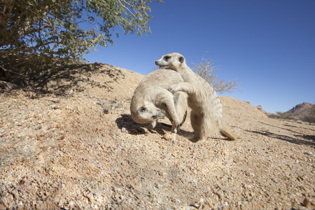 romp: two meerkat playing in the sand, Namibia, Africa, concept for playing and having fun Stock Photo
