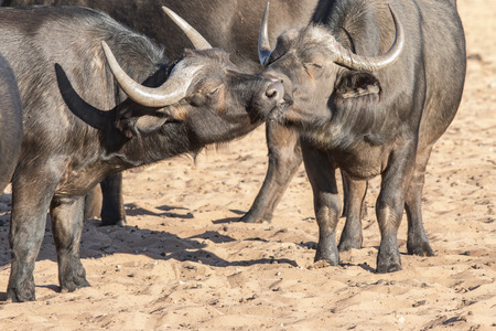 horn like: Portrait of two female buffalo touching their mouths with closed eyes. Concept for love and affection