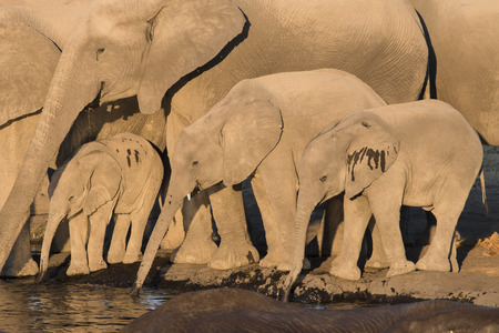 close together: elephant herd with calfs standing close together and drinking at a waterhole, Etosha National Park, Namibia, Africa