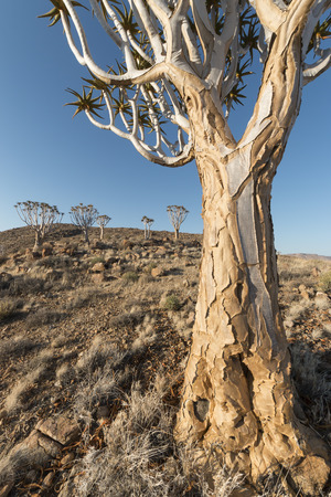 quiver: namibian landscape with quiver trees, Namibia, Africa Stock Photo