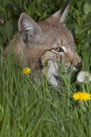 watchful: portrait of a watchful lynx hunting in high green grass, Europe