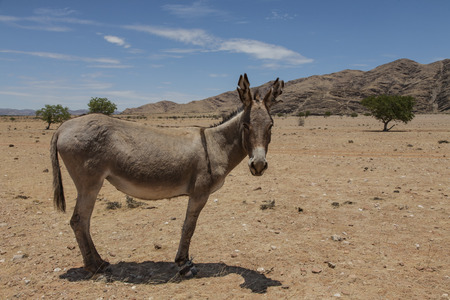 ass donkey: dry and dusty rural african landscape with a donkey, Kaokoveld, Namibia, Africa