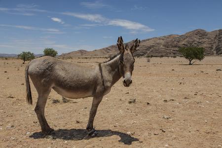 burro: seco y polvoriento paisaje africano rural con un burro, Kaokoveld, Namibia, África