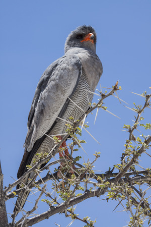 Grey african Goshawk sitting on a branch of a camel thorn tree, Etosha National Park, Namibia, Africa