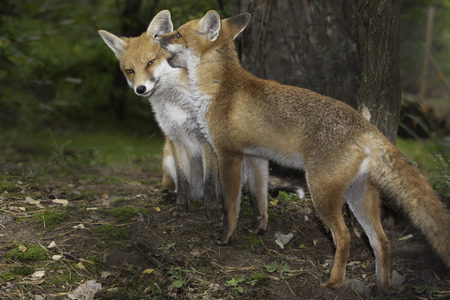 breeding: Two red foxes standing close together in Breeding Season Stock Photo