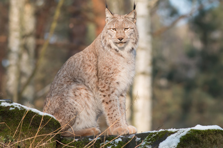watchful: watchful lynx sitting on a rock in winter forest