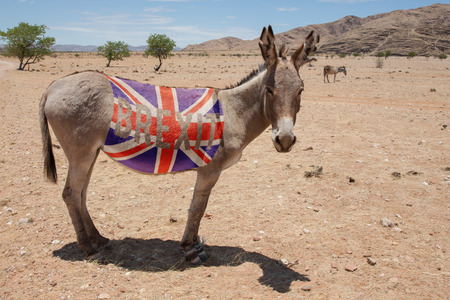 jack ass: Grey donkey with a Union Jack and the word Brexit on his body standing in the european desert. Caricature and political concept to the british referendum for remaining or leaving the European Union