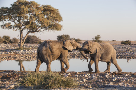 fighting bulls: two fighting elephant bulls at a waterhole in the evening, Etosha National Park, Namibia, Africa