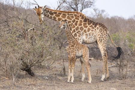 두 기린, 엄마와 아기 송아지, 마른 아프리카 부시에 함께 서 서