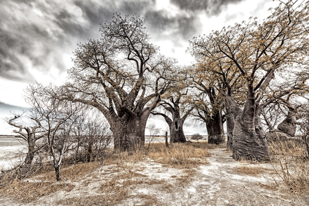 africa baobab tree: Landscape with a group of baobab trees in Kalahari desert, Africa