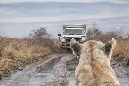Lion watching a mud splashing off road car on a dirt road in the savanna, travel concept, for safari adventure in africa