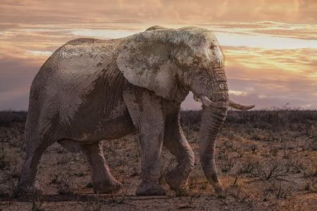Toro elefante nel cespuglio all'alba, parco nazionale di Etosha, Namibia, Africa Archivio Fotografico - 82636749