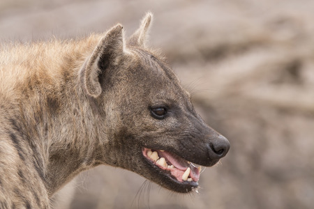 portrait of a hyena with open mouth. Stock Photo