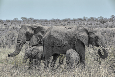 elephant family with two calfs standing close together in the bush, Kruger National Park, South Africa
