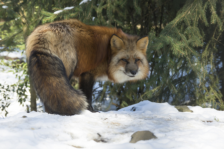 Red fox standing under a spruce in winter forest