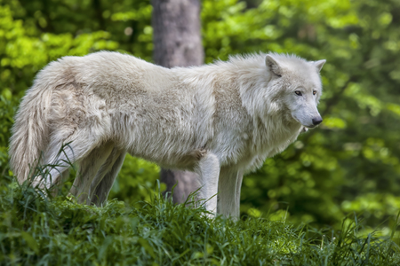 portrait of a wulf in the green forest in summer, Europe