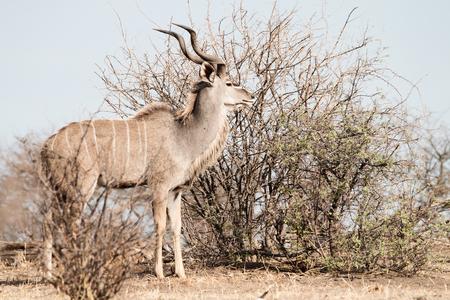 male Kudu antelope stansing behind a arid bush in the savanna, Etosha National Park, Namibia, Africa Imagens