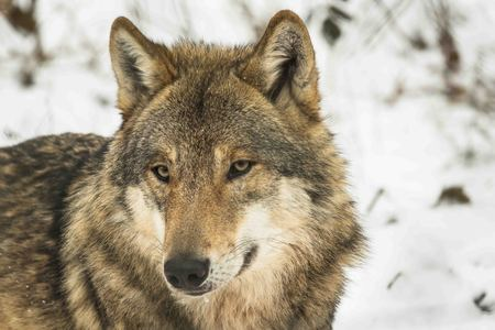 portrait of a timber wolf in snowy white winter forest Reklamní fotografie