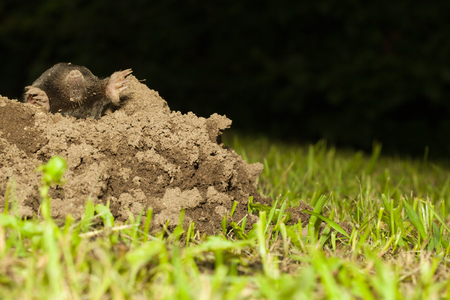 nature background with a mole on top of a molehill in the grass of a garden, concept for gardening or nature conservancy