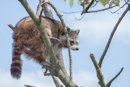 portrait of a racoon climbing on a tree Stock Photo