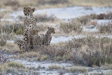 female cheetah with two cubs in Etosha National Park, Namibia Africa