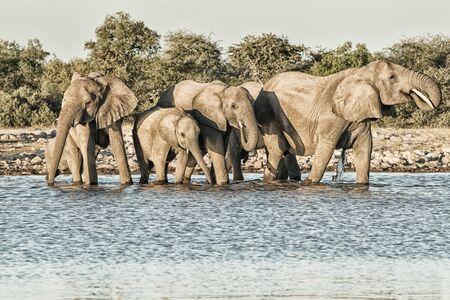 elephant drinking at a waterhole in Etosha National Park, Namibia, Africa