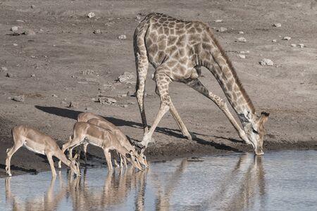 impala antelope and giraffe drinking at a waterhole, Etosha National Park, Namibia, Africa