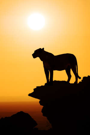 black silhouette of a standing lion on the top of a mountain watching the sunset over the african savanna; concept and background for safari and travel africa
