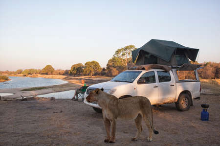 caucasian woman sitting on a chair beside her pickup camper with roof tent while a dangerous lioness is visiting the campsite, Zambezi National Park, Zimbabwe, Africa Standard-Bild