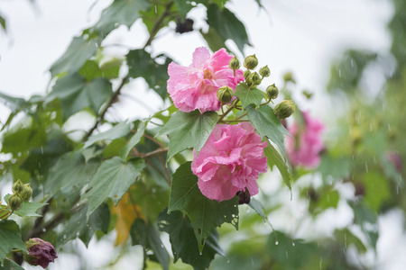 rosemallow: Slow Shutter Speed of Cotton rose flower (Hibiscus mutabilis L) with water drops in rainy day Stock Photo