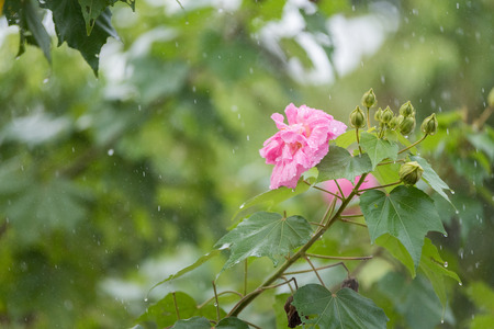 rosemallow: High Shutter Speed of Cotton rose flower (Hibiscus mutabilis L) with water drops in rainy day