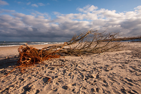 overturned: overturned tree on the sandy beach of the Baltic Sea