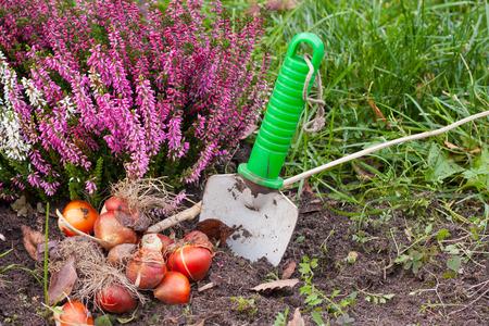 チューリップの球根は、庭に植えられる準備が整いました。