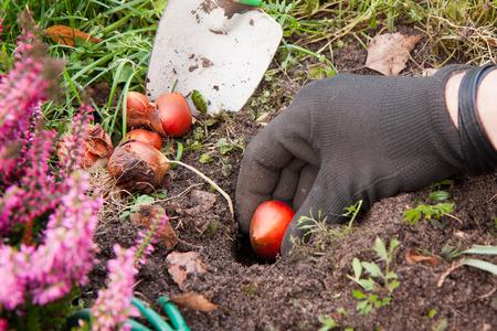 Gardener planting tulip  bulbs out in the garden.