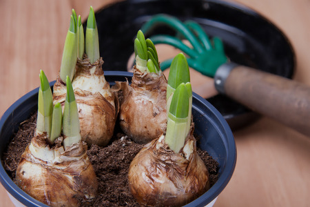 flowerpot: Young, sprouting tulips grow in a flowerpot.