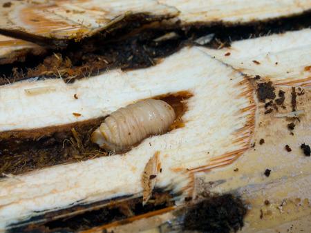 delicadeza: Selva de Pap�a. La delicadeza de la tribu Korowaya, - una larva blanca