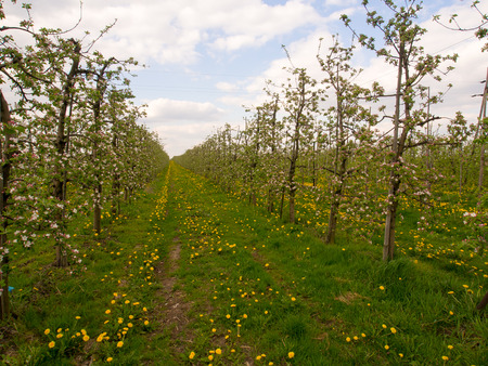 arbres fruitier: An orchard with fruit trees  in colourful blossom glowing  in the sunlight Banque d'images
