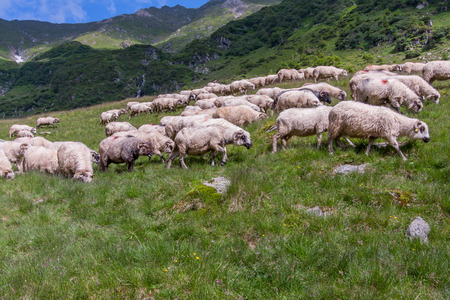 shepherd sheep: Carpathian Mountains, Romania - July - 05, 2015: The shepherd guarding herd of sheep grazing on the slopes of the Carpathians