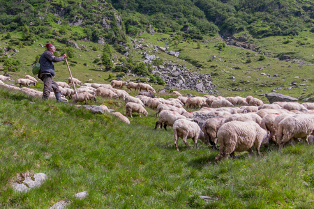 Carpathian Mountains, Romania - July - 05, 2015: The shepherd guarding herd of sheep grazing on the slopes of the Carpathians