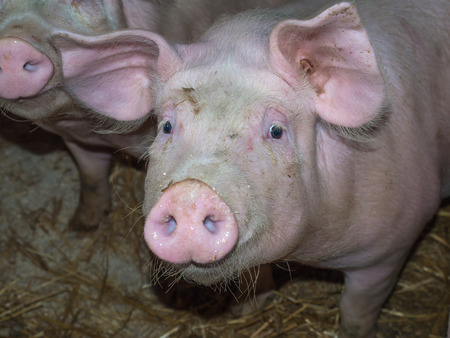 A young porker looking straight at the camera lens