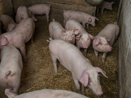 piglets: A bunch of young porkers waiting to be fed