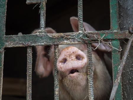 Farm pig looking with lots of interest thru the pigstay fence