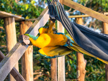 Palmari, Brazil - May 06, 2016: Beautiful, blue and yellow parrot (macaw) in the jungle. Editorial