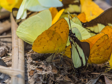 Colorful butterflies on a bank of the river in the Amazon jungle. Stock Photo