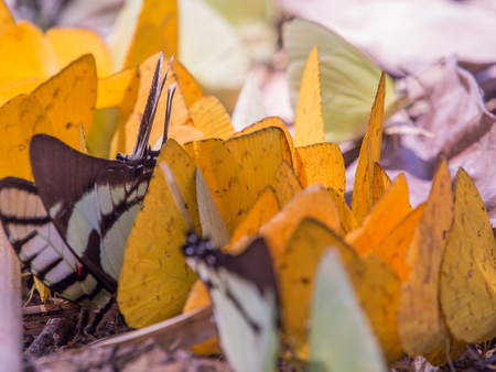 comely: Colorful butterflies on a bank of the river in the Amazon jungle. Stock Photo